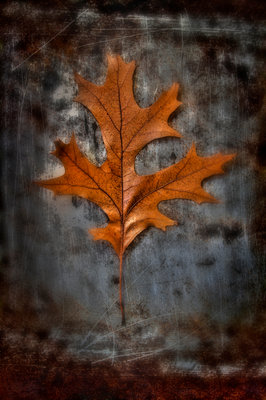 Autumnal Red Oak Fine Art Print by Peter Straw