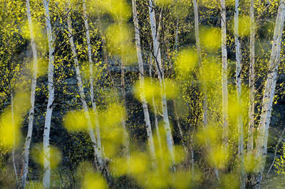 Birch Trees and Foliage in Spring Fine Art Print by Don Johnston