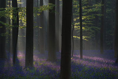 The Purple Carpet and Black Trees Fine Art Print by Gerard Leeuw