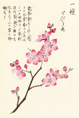 Honzo Zufu [Cherry Blossum] Wall Art & Canvas Prints by Kan'en Iwasaki