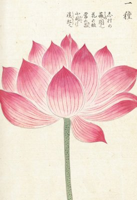 Honzo Zufu [Lotus] Wall Art & Canvas Prints by Kan'en Iwasaki