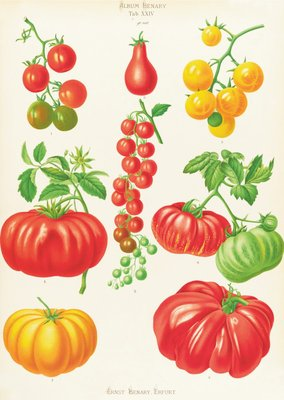 Tomatoes, or Love-Apples botanical print by Ernst Benary