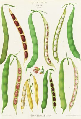 Beans - Dwarf French, Kidney or Snap botanical print by Ernst Benary