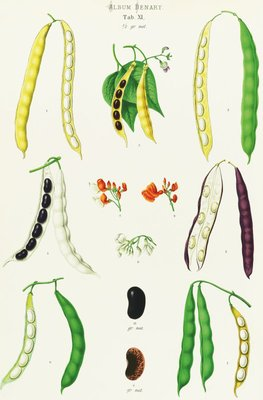 Beans - Runner, Tall Kidney, or Pole botanical print by Ernst Benary