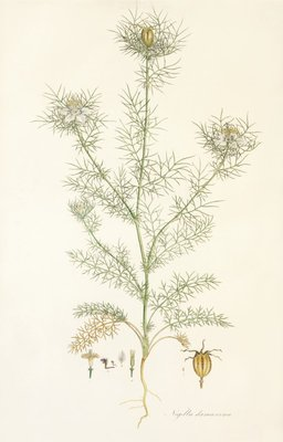 Nigella damascena. Love in a Mist Fine Art Print by John Sibthorp