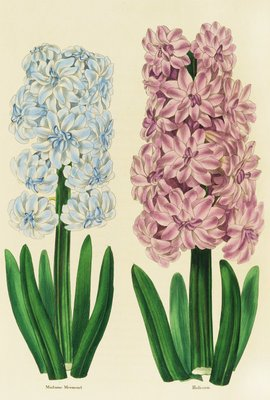 Hyacinths Madame Mermond and Helicon botanical print by Anon