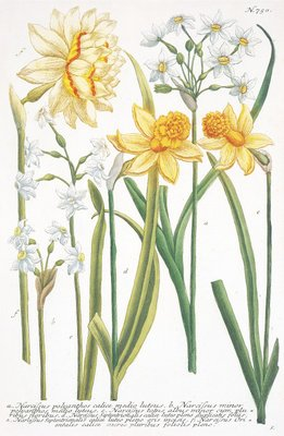 Illustrations of various Narcissi botanical print by Johann Wilhelm Weinmann