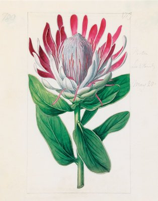 Protea formosa. Crown-Flowered Protea botanical print by Sydenham Teast Edwards