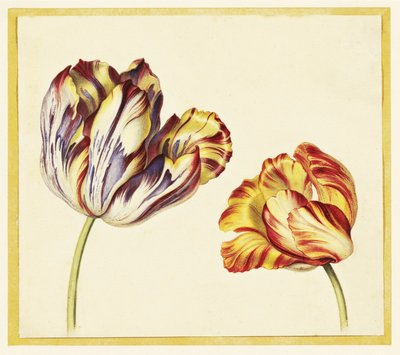 Tulips botanical print by Simon Verelst