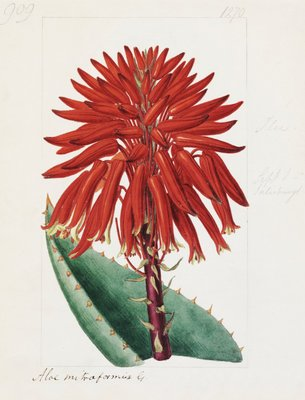 Aloe mitriformis Mill. Mitre Aloe botanical print by Sydenham Teast Edwards