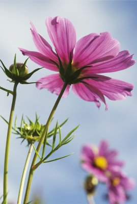 Cosmos bipinnatus. Mexican Aster botanical print by Andrew McRobb