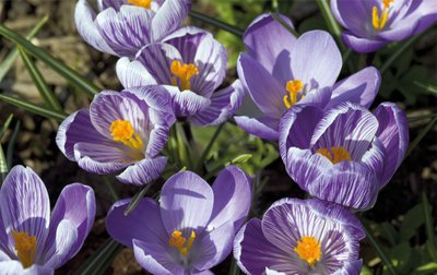 Crocus Carpet botanical print by Andrew McRobb