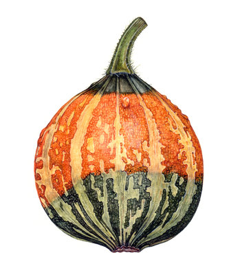 Small Gourd botanical print by Rachel Pedder-Smith