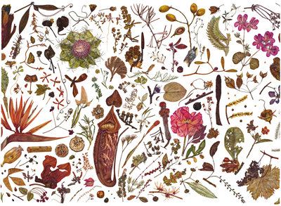 Herbarium Specimen Painting page 3 Fine Art Print by Rachel Pedder-Smith