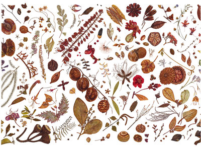 Herbarium Specimen Painting page 4 Fine Art Print by Rachel Pedder-Smith