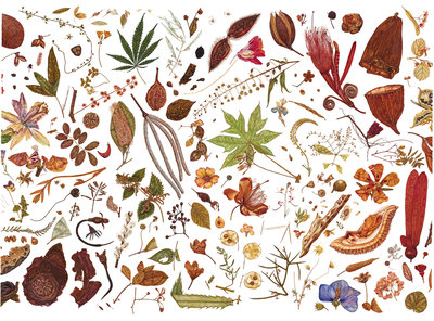 Herbarium Specimen Painting page 5 Fine Art Print by Rachel Pedder-Smith