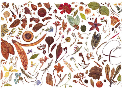 Herbarium Specimen Painting page 6 Fine Art Print by Rachel Pedder-Smith