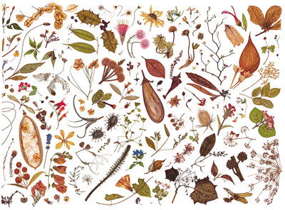 Herbarium Specimen Painting page 7 Fine Art Print by Rachel Pedder-Smith