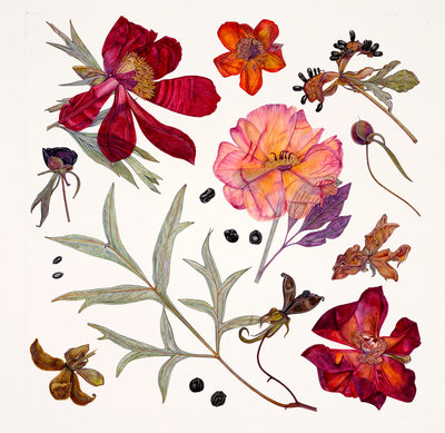 Peony Specimens Postcards, Greetings Cards, Art Prints, Canvas, Framed Pictures, T-shirts & Wall Art by Rachel Pedder-Smith
