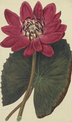 Nymphae rubra botanical print by Sydenam Edwards