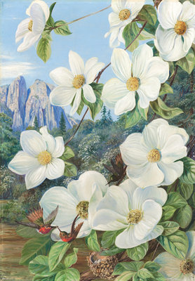 190. Foliage and Flowers of the Californian Dogwood, and Humming Birds. botanical print by Marianne North