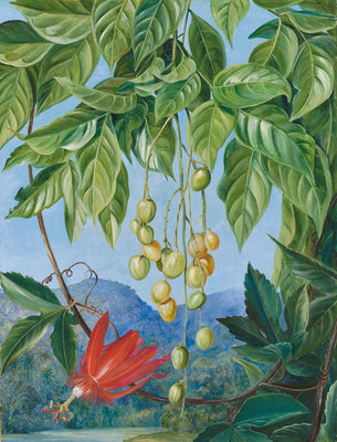 223. Foliage and Fruit of the Wampee and American Passion Flower. Fine Art Print by Marianne North