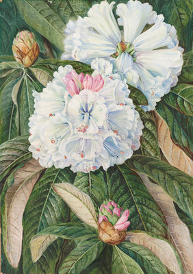 234. Foliage and Flowers of the Indian Rhododendron grande. Poster Art Print by Marianne North