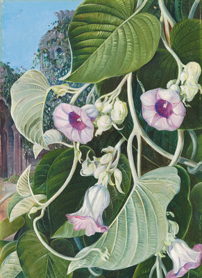 245. The Elephant Creeper of India. Fine Art Print by Marianne North