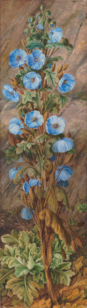 252. Blue Poppy growing on Mt. Tonglo, Sikkim-Himalaya. Fine Art Print by Marianne North