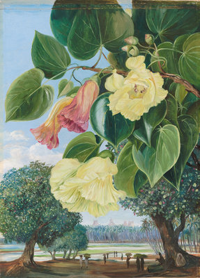 256. Foliage and Flowers of the Suriya or Portia; the Pagodas of Madura in the distance. Fine Art Print by Marianne North