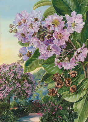 257. Foliage, Flowers, and Fruit of a Forest Tree of India. Fine Art Print by Marianne North