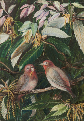 282. A. Himalayan Oak and Birds, Nainee Tal, India. botanical print by Marianne North