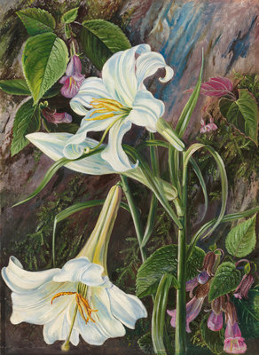 285. The Great Lily of Nainee Tal, in North India. Fine Art Print by Marianne North