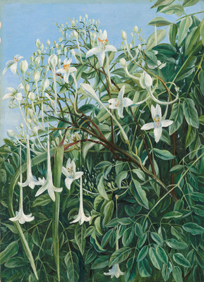 286. Foliage, Flowers, and Fruit of Millingtonia hortensis. Poster Art Print by Marianne North