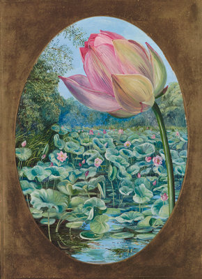 294. The Sacred Lotus or Pudma. botanical print by Marianne North