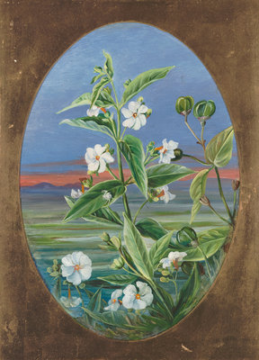 307. The Night Jessamine. Fine Art Print by Marianne North