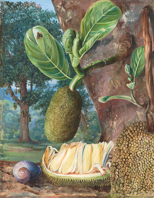 333. Jak Fruit, Singapore. botanical print by Marianne North