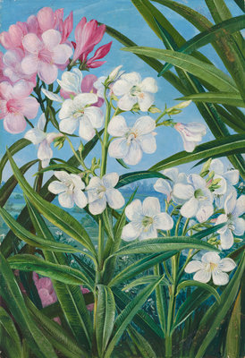 341. The Oleander. botanical print by Marianne North