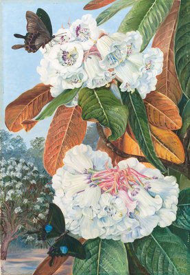 346. Rhododendron Falconeri, from the Mountains of North India. Poster Art Print by Marianne North