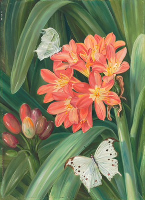 352. Clivia miniata and Moths, Natal. Fine Art Print by Marianne North