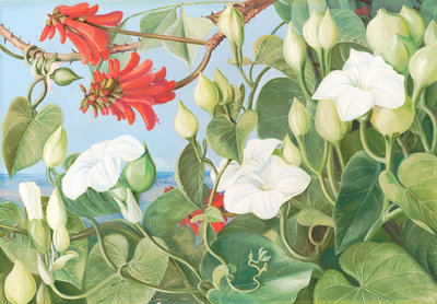 354. White Convolvulus and Kaffirboom, painted at Durban, Natal. Fine Art Print by Marianne North