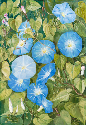 355. Morning Glory, Natal Postcards, Greetings Cards, Art Prints, Canvas, Framed Pictures, T-shirts & Wall Art by Marianne North