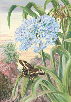 357. Blue Lily and large Butterfly, Natal. Fine Art Print by Marianne North