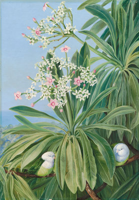 358. Ordeal Plant or Tanghin and Parokeets of Madagasear. Fine Art Print by Marianne North