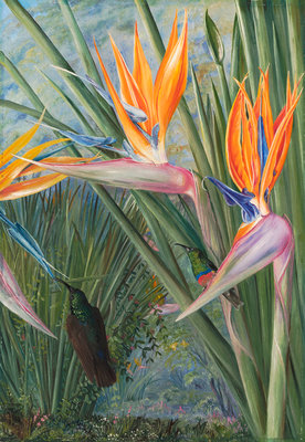 365. Strelitzia and Sugar Birds, South Africa. Fine Art Print by Marianne North