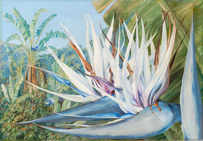 369. Strelitzia augusta at St. John's Kaffraria. Fine Art Print by Marianne North