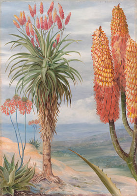 386. Aloes at Natal. botanical print by Marianne North