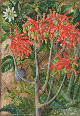 387. Aloe and Passionflower, South Africa. botanical print by Marianne North