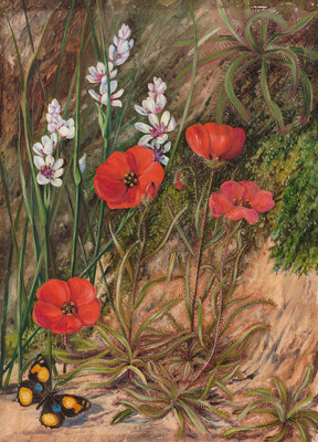 413. A South African Sundew and Associate. botanical print by Marianne North