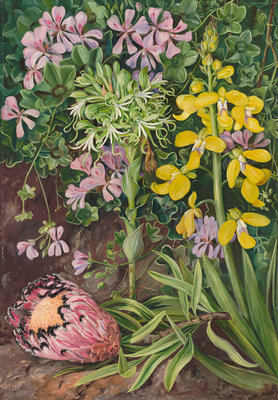 416. An Old Friend and its Associates in South Africa. botanical print by Marianne North